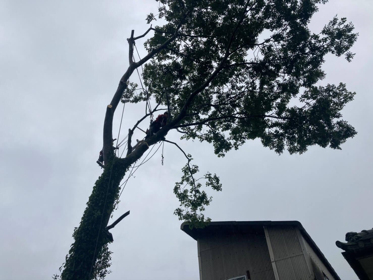 こちらは吊り切りを行うためのロープを枝にかけに行く田嶋